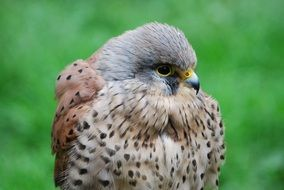 Kestrel Hawk Close-Up