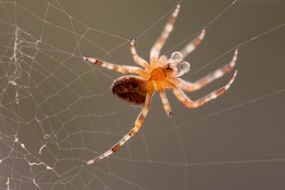 garden spider on its web