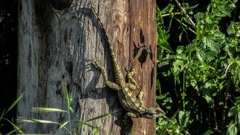 long tailed Lizard on trunk, Cyprus