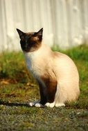 siamese cat sitting outdoor