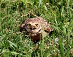 Burrowing owl in grass