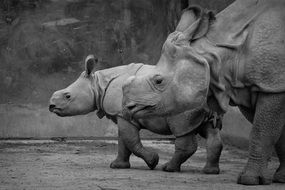 baby rhinocero with mother