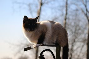Siamese cat is sitting on a lantern