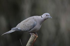 gray dove sits on a branch