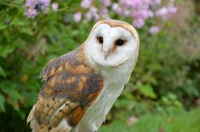 barn owl in the forest