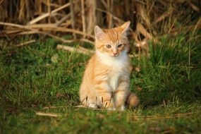 young red cat sitting on the grass