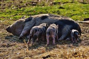 mother pig feed their children