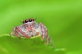 Macro photo of Jumping Spider
