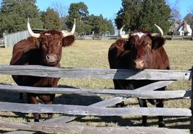two oxen behind a wooden fence