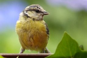 Blue Tit Young