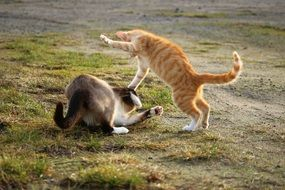 two playful domestic cats