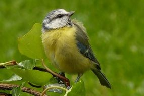 Blue tit on the branch