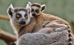mother lemur with its child