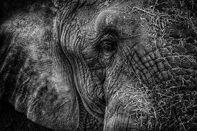 black and white photo of the head of an elephant