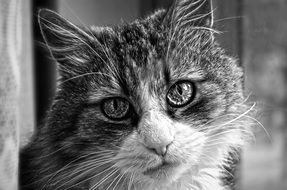 cat face, black and white