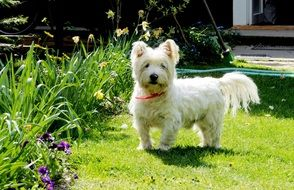 wonderful and beautiful West Highland White Terrier