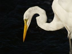 white heron on a black background