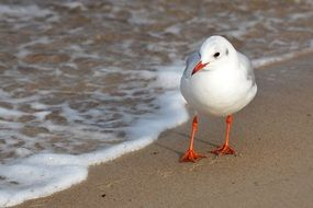 seagull walking on the Baltic Sea beach