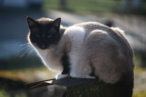 relaxing siamese cat