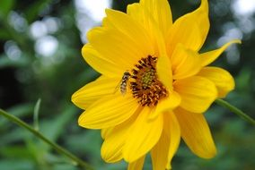 insect collects nectar on a bright yellow flower