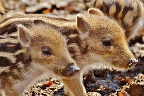 funny wild piglets in the wildpark poing