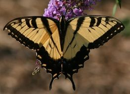 eastern tiger swallowtail on a flower