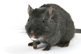 black domestic mouse