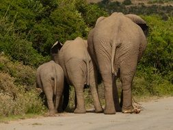three elephants on a road in a national park in africa