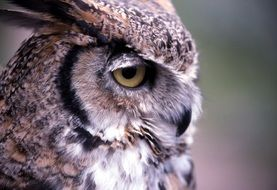 furry great horned owl