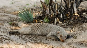 sleeping funny banded mongoose in the shadow