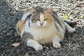 fat lazy cat on pebbles