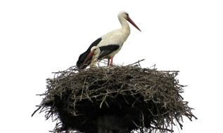 white storks bird in the nest