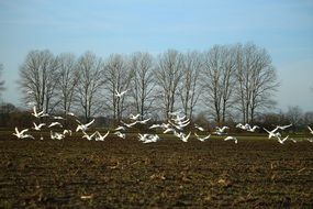 a flock of white swans over a rural field