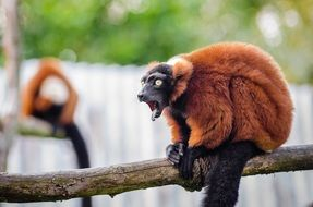 red ruffed lemur in the zoo