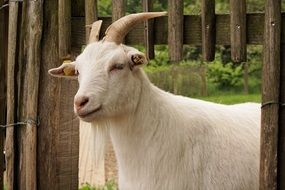 White domestic goat