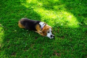 Beagle dog is lying on the grass