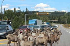 herd of mountain goats on a highway in Canada