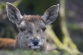Red Deer mammal wildlife photography