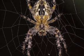 closeup of spider on the cobweb
