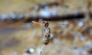 orange dragonfly on a dry plant