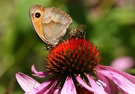 beautiful brown butterfly on a fluffy flower