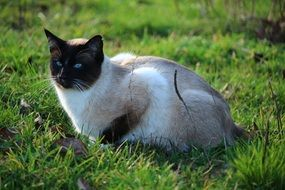 Siamese cat is sitting on the grass