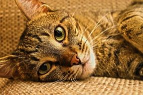 relaxed domestic tabby cat
