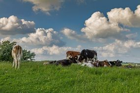 Denmark Cows Pasture Meadow Sky