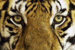 macro photo of tiger\'s face with yellow eyes