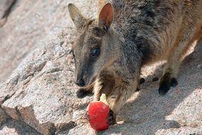 Rock Wallaby eats apple, australia