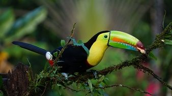 colorful Keel Billed Toucan perched branch