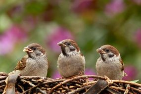 three hungry sparrows