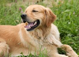 cheerful Golden Retriever