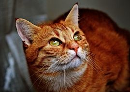 cuddly red domestic cat